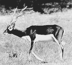 Texas blackbuck
