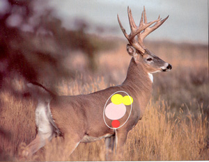 Vital areas in deer