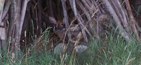 the fawn in teepee