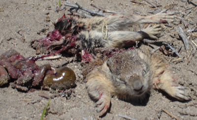 Deceased sand rat
